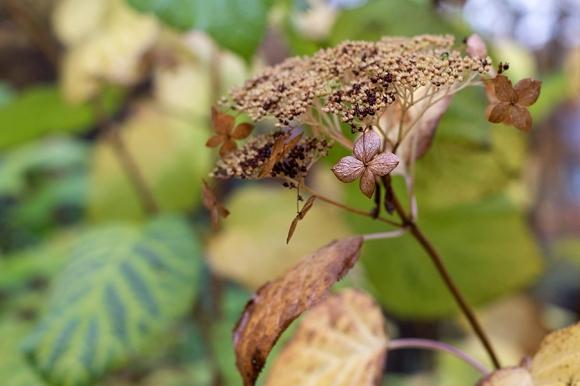 Hydrangea arborescens blossom