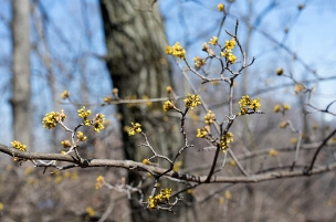 Cornelian cherry blossoms