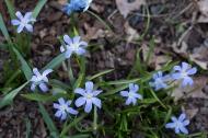 bluechionodoxa