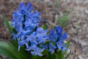 bluehyacinth