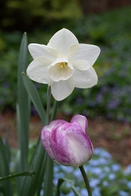 Daffodil 'Bella Coola' and tulip 'Shirley'