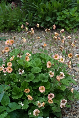 Geum x 'Peach Daiquiri'