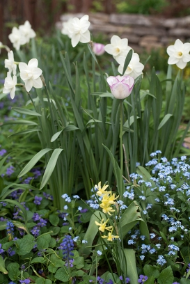 Spring bulbs in the grape and lemonade bed