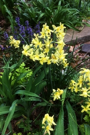 Daffodil 'Hawera'