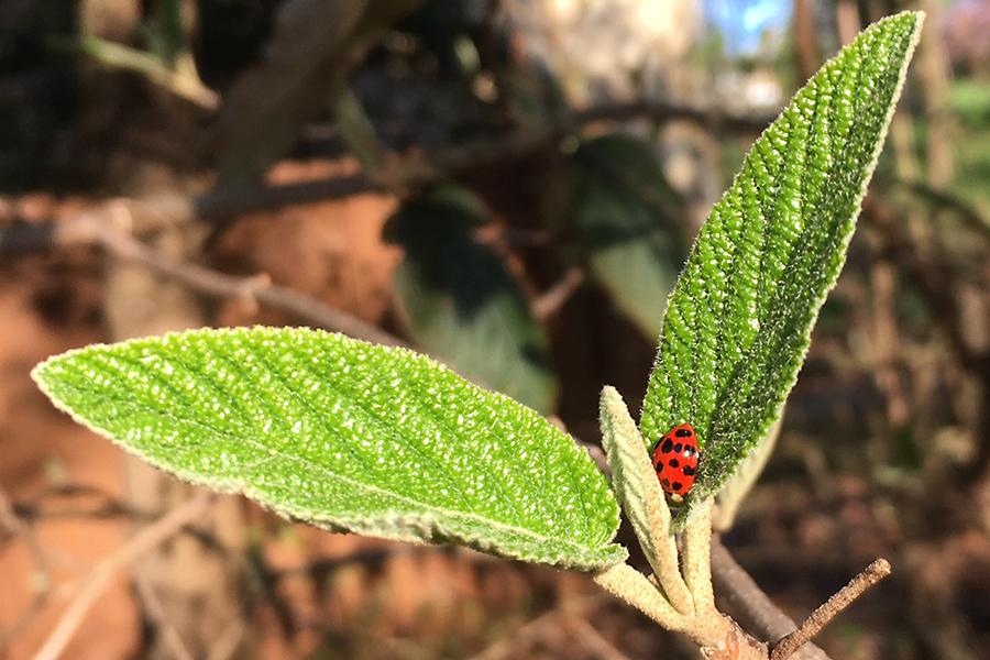 ladybugleaf
