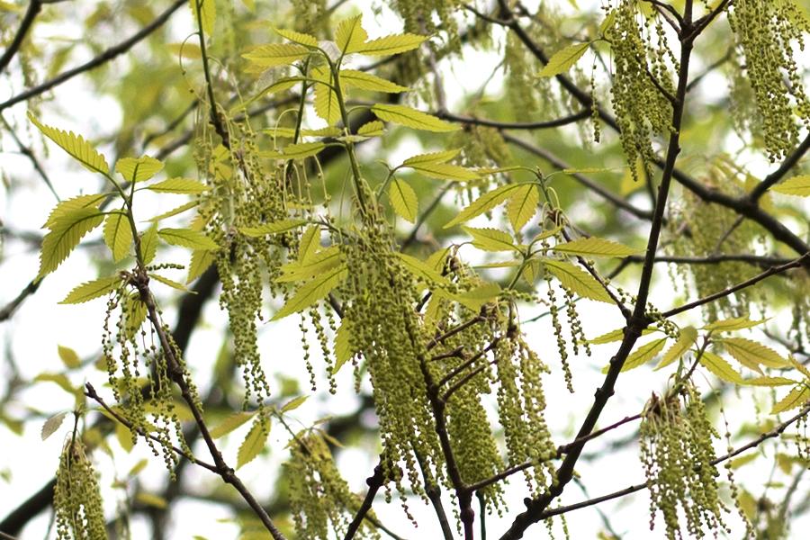oakflowers