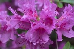 Azalea closeup