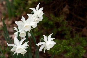 Daffodil 'Thalia'