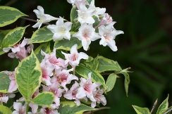 Variegated Weigela flower