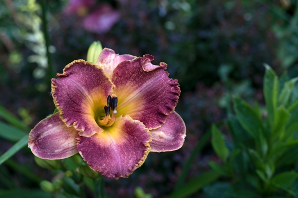 Daylily 'Breed Apart'