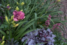 Daylily 'Inquire Within' and Heuchera
