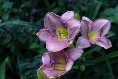 Daylily 'Inquire Within'