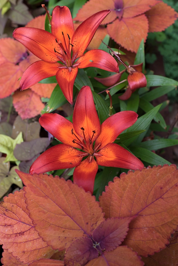 Asiatic Lily 'Matrix' & Coleus 'Sedona'