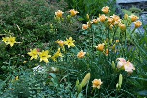 Peach and gold daylilies