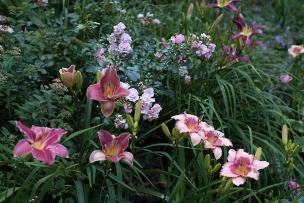 Pink daylillies