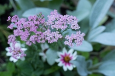 Achillea 'Little Susie'