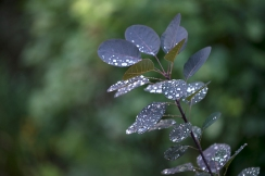 Raindrops on smoke bush leaves
