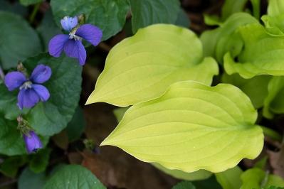 Hosta and violet