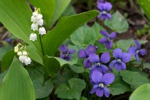 Wild violets
