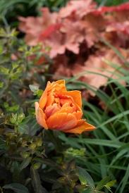 Tulip 'Princess Irene'