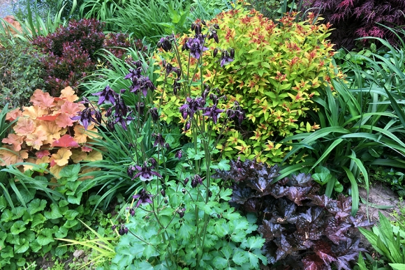 Columbine and foliage plants