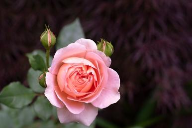 'Abraham Darby' blossom