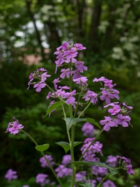 Dames Rocket (Hesperis matronalis