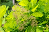 Gold leaf smokebush
