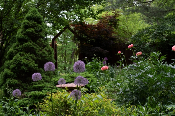 Alliums and peonies in late May