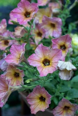'Terracotta' petunias