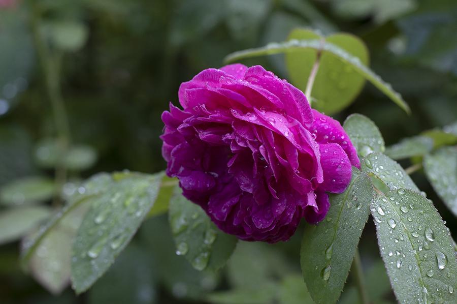 rosedereschtrain