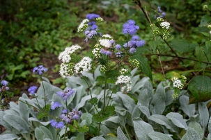 Ageratum houstonianum and Eupatorium rugosum