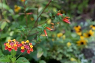 Lantana and Cuphea ignea