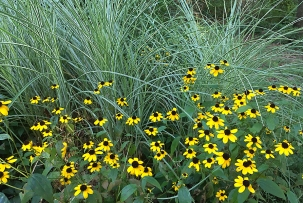 Rudbeckia triloba and Miscanthus sinensis 'Morning Light'
