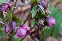 Hellebore 'The Red Lady'