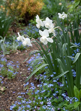Daffodils and forget-me-nots