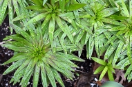 Asiatic lily foliage
