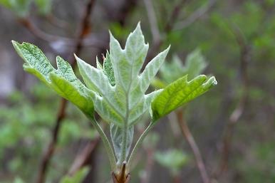 Oakleaf hydrangea leaf