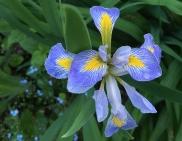 Iris virginiana